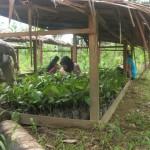 Soutenir la nature, les savoirs traditionnels et une agriculture soutenable sur l'île de Siberut, en Indonésie.